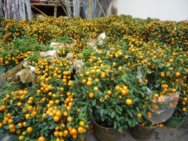Orange trees at Chinese New Year flower market