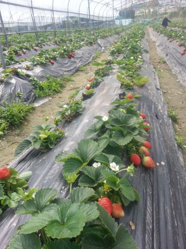 Rainbow Organic Strawberry Farm plants