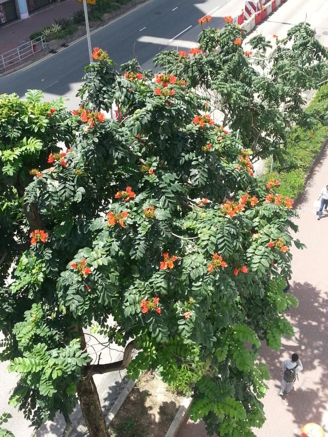 hong_kong_big_orange_flowers