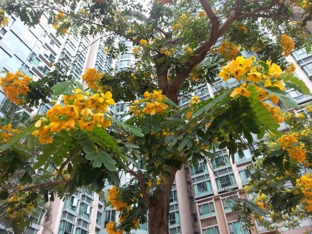 hong_kong_yellow_flowers