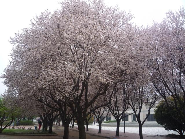 Terracotta warriors cherry blossom