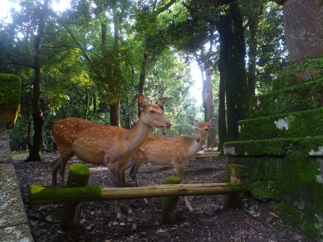 Deer in Nara-koen park - The Little Koo Blog