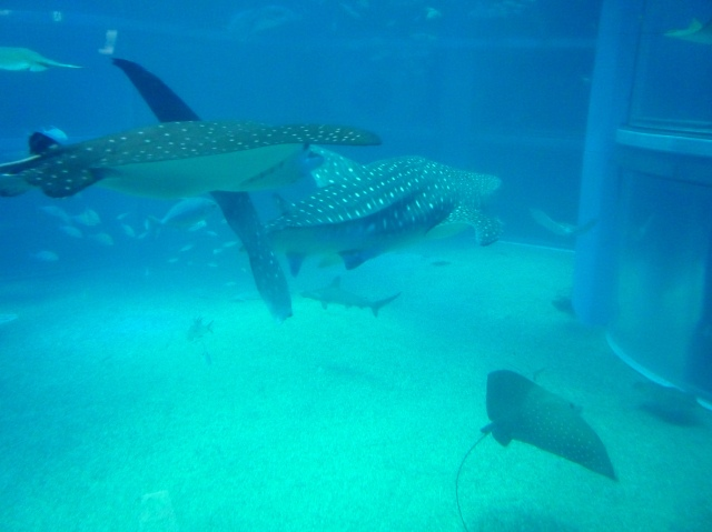 Whale sharks at Osaka Aquarium - The Little Koo Blog
