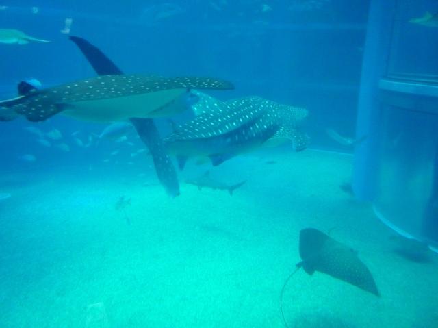 Whale sharks at Osaka Aquarium - The Little Koo Blog