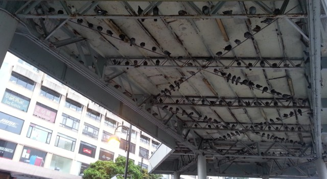 160524 Candid Hong Kong roosting pigeons