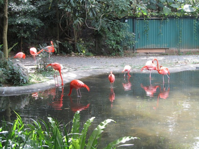 Kadoorie Farm flamingoes