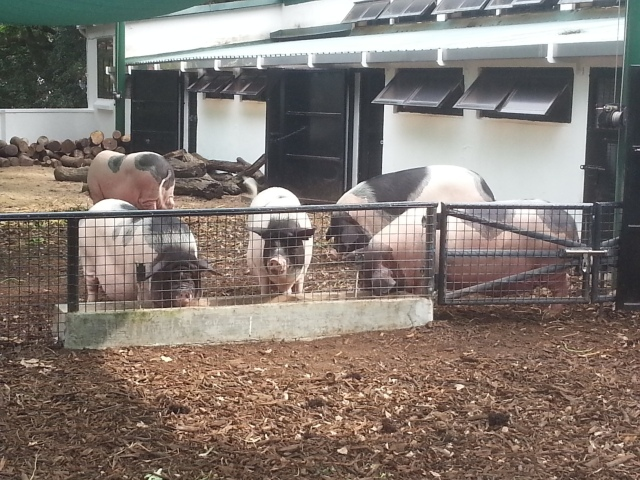 Kadoorie Farm pigs